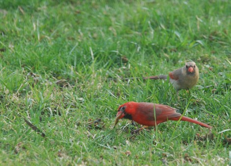 These were in my backyard earlier this year. I believe they are a male and female Summer Tanager.